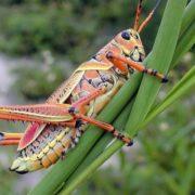Attractive grasshopper
