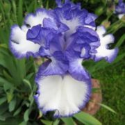 Attractive iris