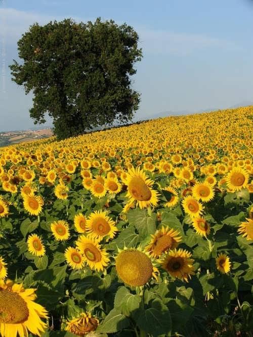 Attractive sunflowers