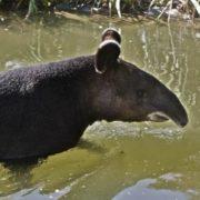 Attractive tapir