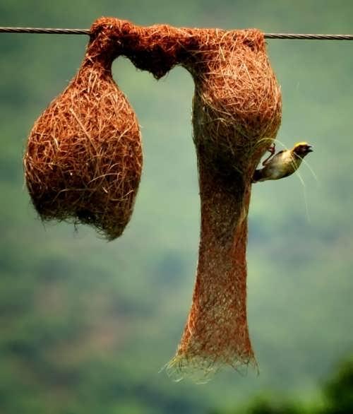 Baya Weavers' nest