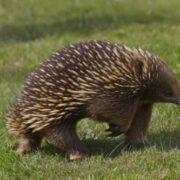 Beautiful echidna
