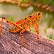 Beautiful grasshopper
