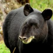 Beautiful tapir