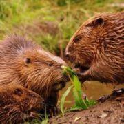 Interesting beavers
