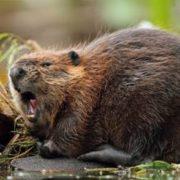 Beautiful beaver