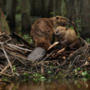 Attractive beavers