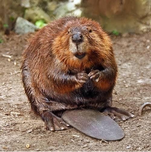 Beaver – skillful builder