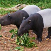 Black and white tapirs