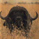 Buffalo – Water-Loving Beast