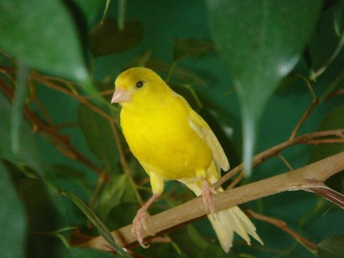 Canary – cute little bird