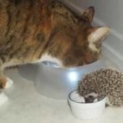 Cat and hedgehog