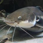 Catfish – fish with whiskers