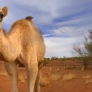 Charming camel