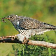 Charming cuckoo