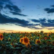 Charming sunflowers