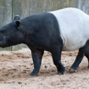 Charming tapir