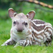 Cute tapir