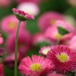 Daisy – pearl among plants