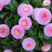 Stunning daisies