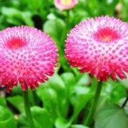 Gorgeous daisies