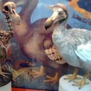 Dodo in the museum