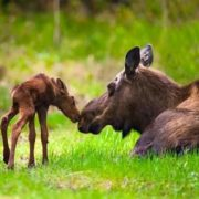 Elks in Alaska