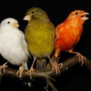 Gorgeous canaries
