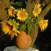 Gorgeous sunflowers