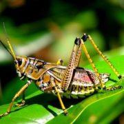 Graceful grasshopper