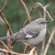 Graceful mockingbird