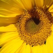 Graceful sunflower
