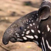Graceful tapir