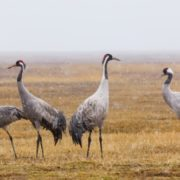 Great cranes