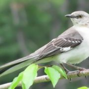 Great mockingbird