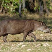 Great tapir