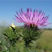Great thistle