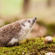Charming hedgehog