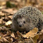 Attractive hedgehog