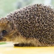 Pretty hedgehog