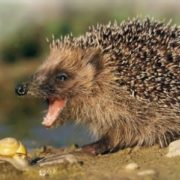 Interesting hedgehog