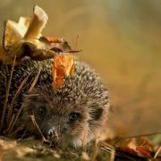 Graceful hedgehog
