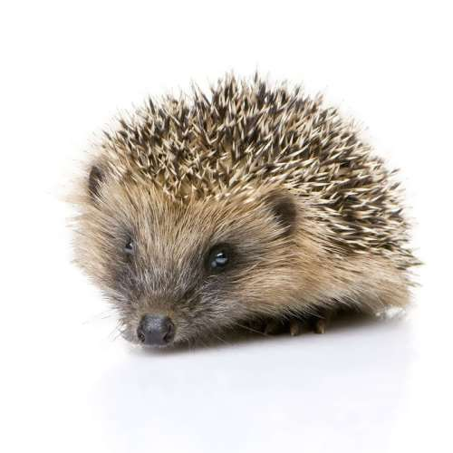 Hedgehog – prickly mammal