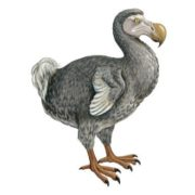 Interesting dodo