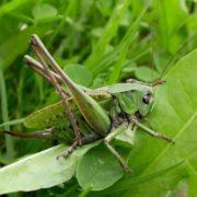 Interesting grasshopper