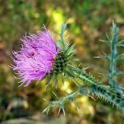Interesting thistle