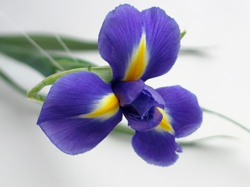 Iris - graceful and amazing flower