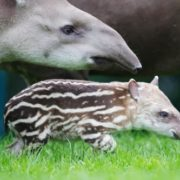 Lovely tapirs