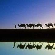 Magnificent camels