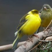 Magnificent canaries